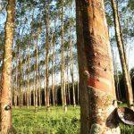 Penyebab Pohon Karet Mati Tumbang Roboh