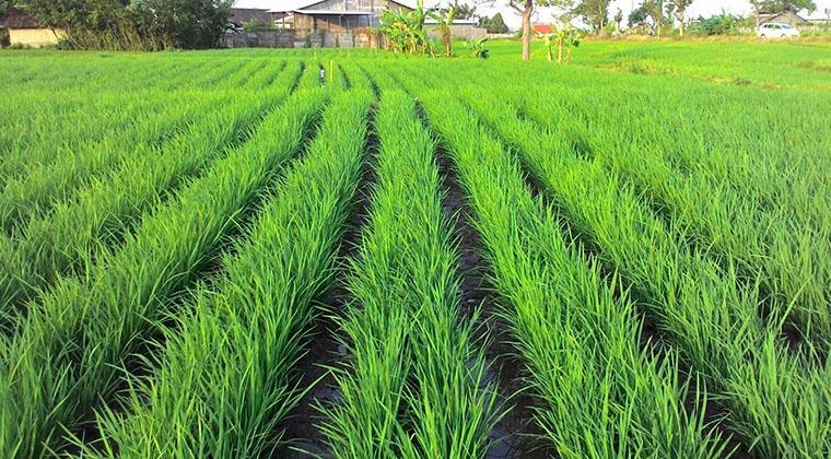 Cara menanam padi yang baik dan benar