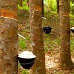 Tips dan Cara Agar Pertumbuhan Pohon Karet Lebih Cepat Besar dan bisa menghasilkan getah banyak